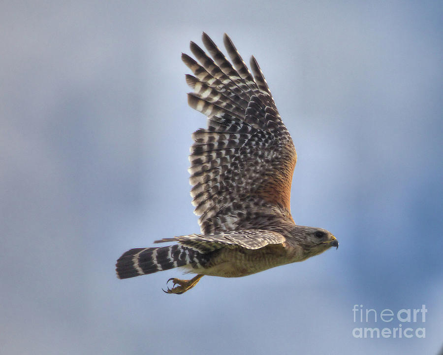 Wildlife_red Shoulder Hawk_landscape_circle B_imgl3912 -1 Photograph