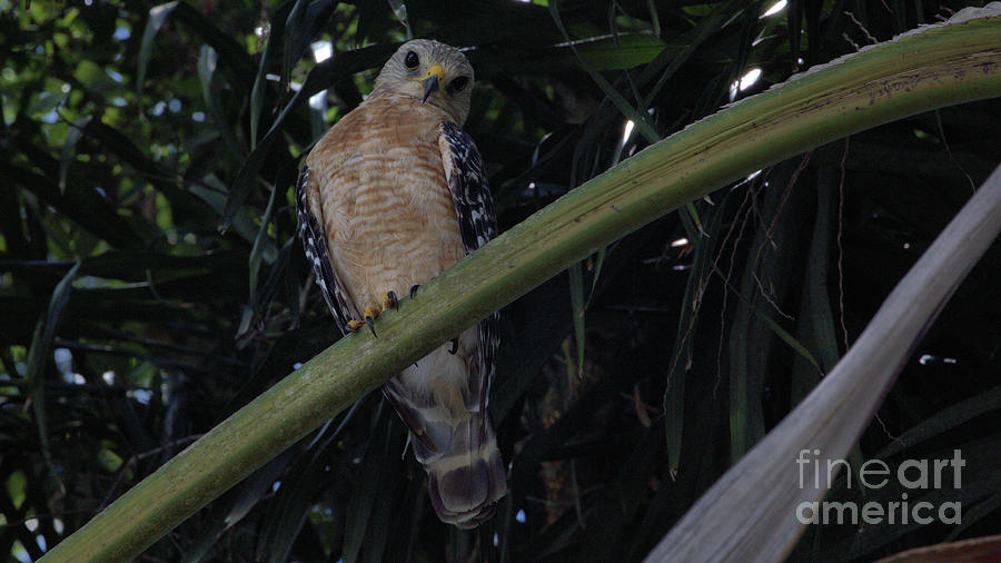 Wildlife_red Shouldered Hawk_imgl7216 -1 Photograph