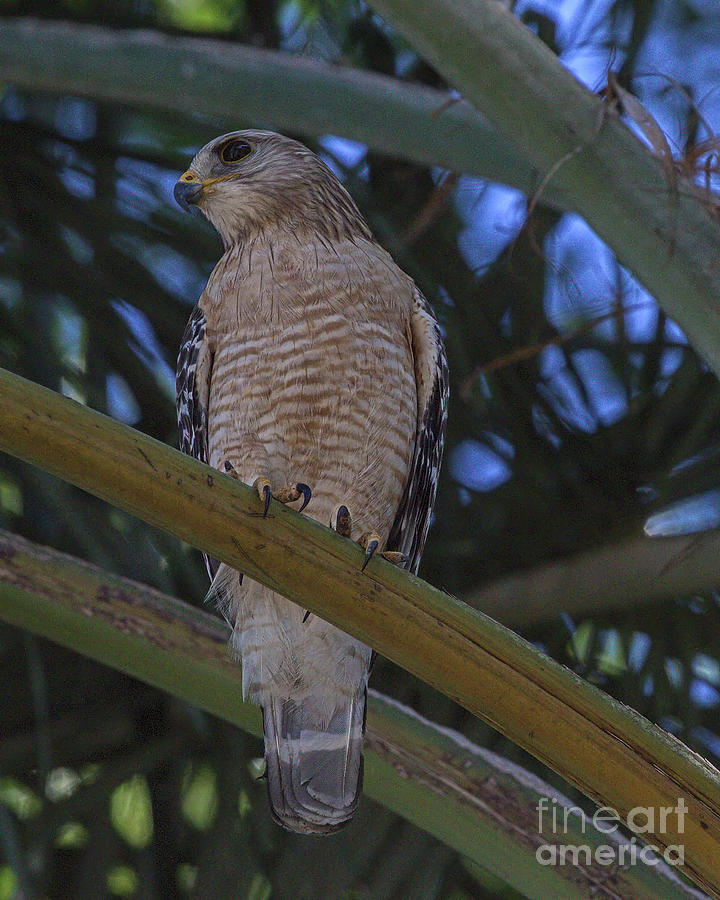 Wildlife_red Shouldered Hawk_imgl8975-1 Photograph