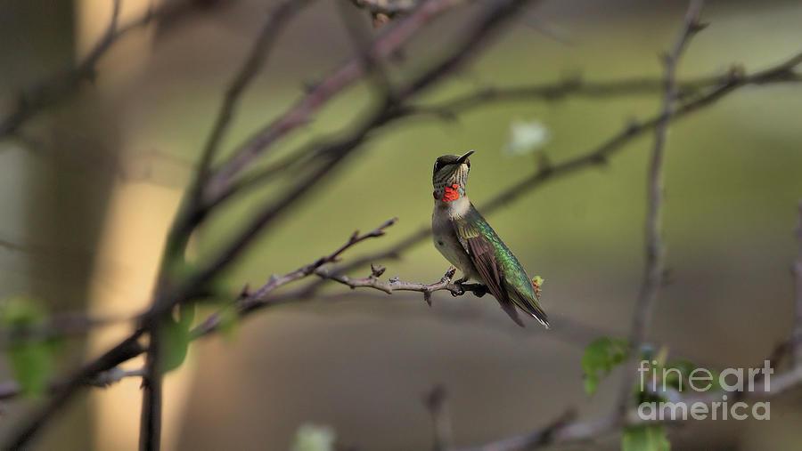 Wildlife_ruby Throat Hummingbird_bok Tower Gardens_imgl1362 -1 Photograph