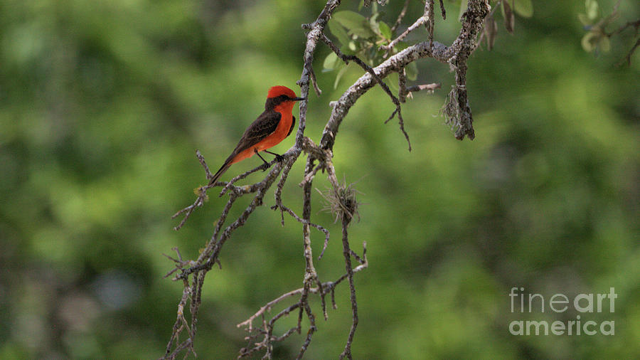 Wildlife_vermillion Flycatcher_hill Country Nature Preserve_texas_img_4580 Photograph