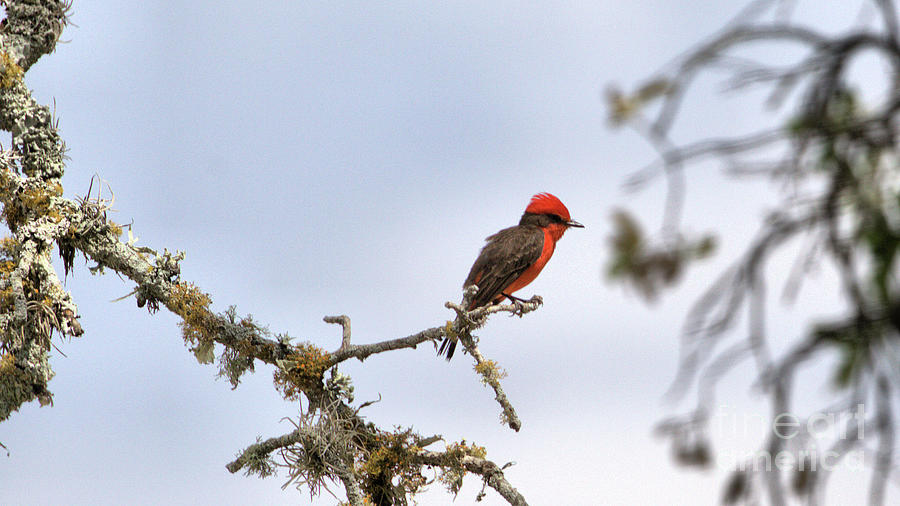 Wildlife_vermillion Flycatcher_hill Country Nature Preserve_texas_img_4600 Photograph