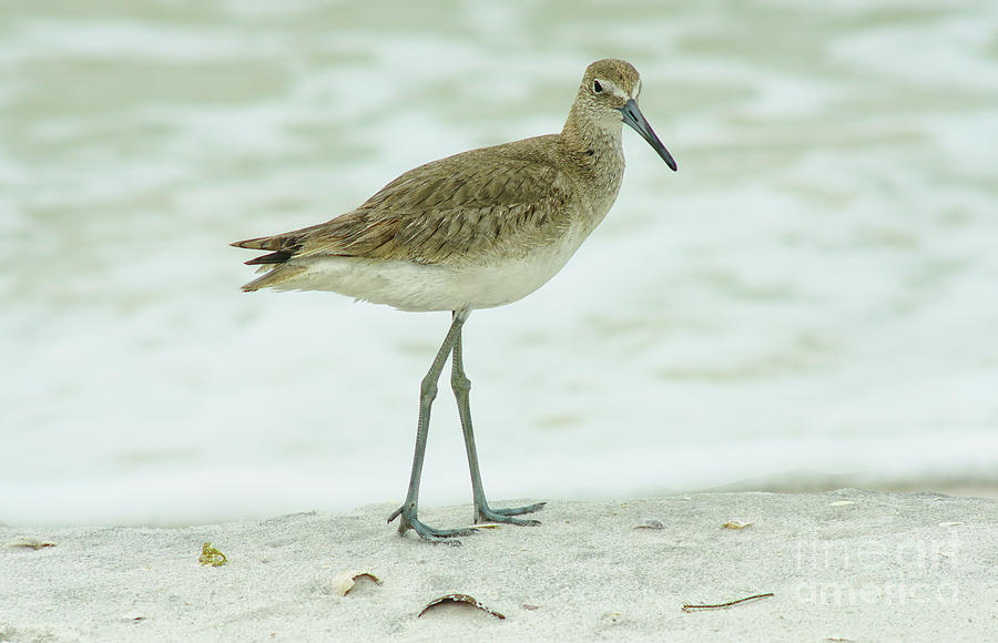 Willet Photograph - Willet by Felix Lai