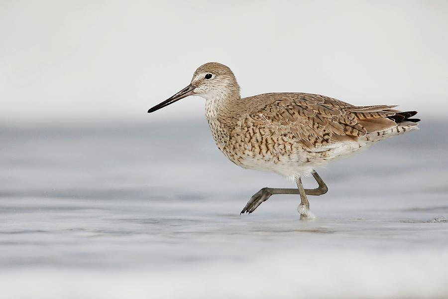 Willet In Surf Photograph