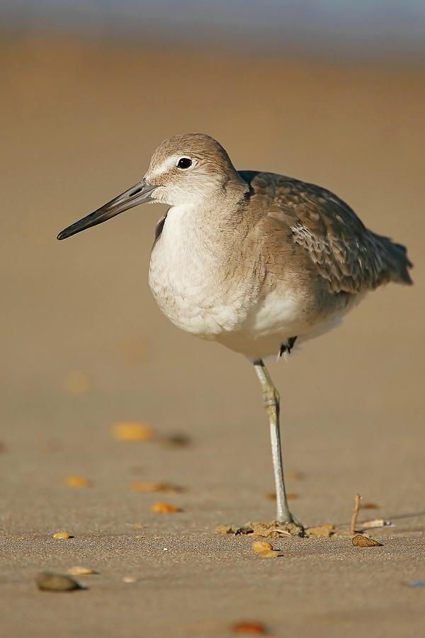 Willet Resting On Beach Photograph