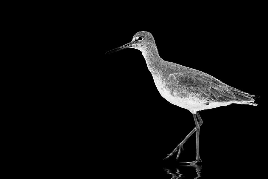 Willet Strolling by Perla Copernik