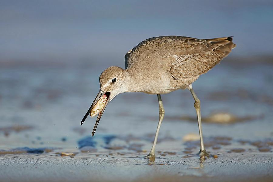 Willet With Mole Crab Photograph