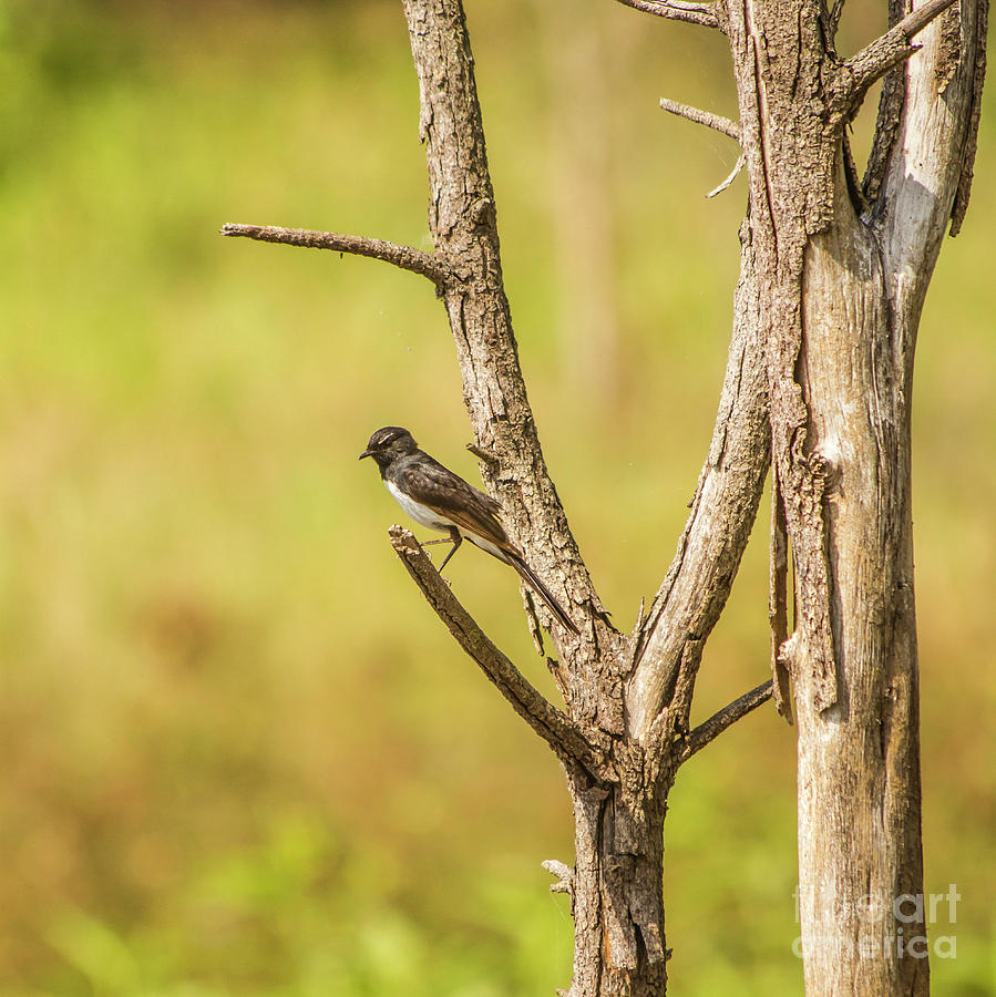 Wildlife Photograph - Willie Wagtail Woodland by Jorgo Photography - Wall Art Gallery