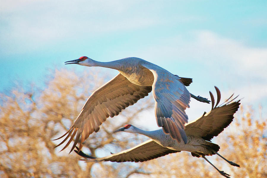 Winged Endeavor, Sandhill Cranes by Flying Z Photography by Zayne Diamond