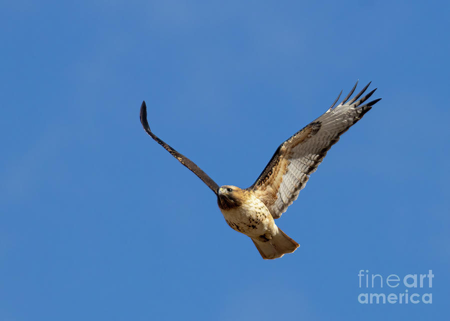 Winging Colorado Red-tailed Hawk Photograph