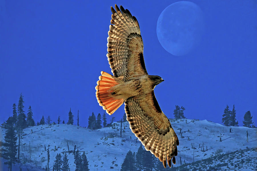 Red Tail Hawk Photograph - Wings by Donna Kennedy