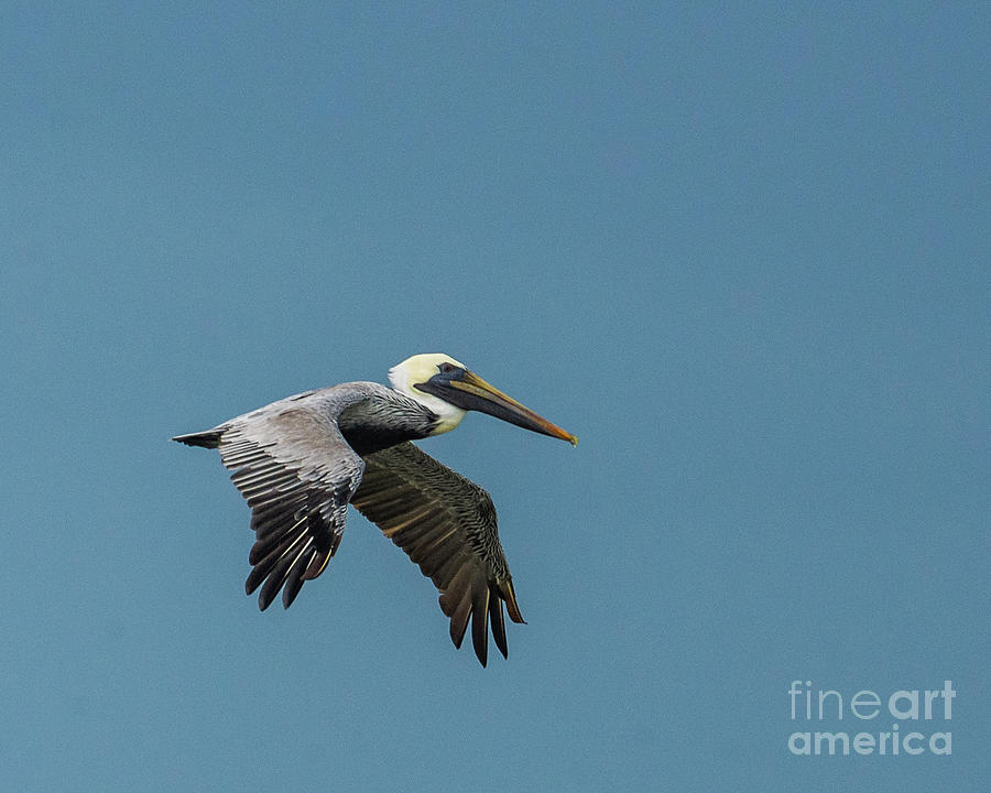 Wings Of A Brown Pelican Photograph