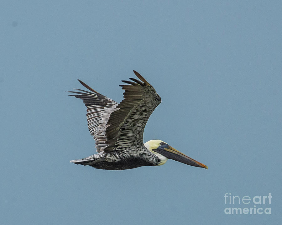 Wings Of A Brown Pelican II Photograph