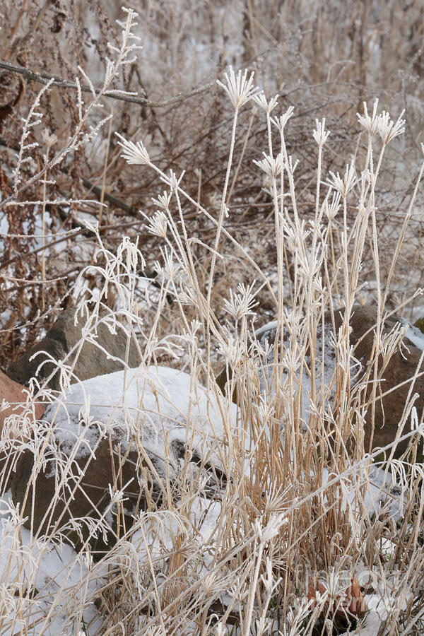 Winter Brown Weeds with Frost by Carol Groenen