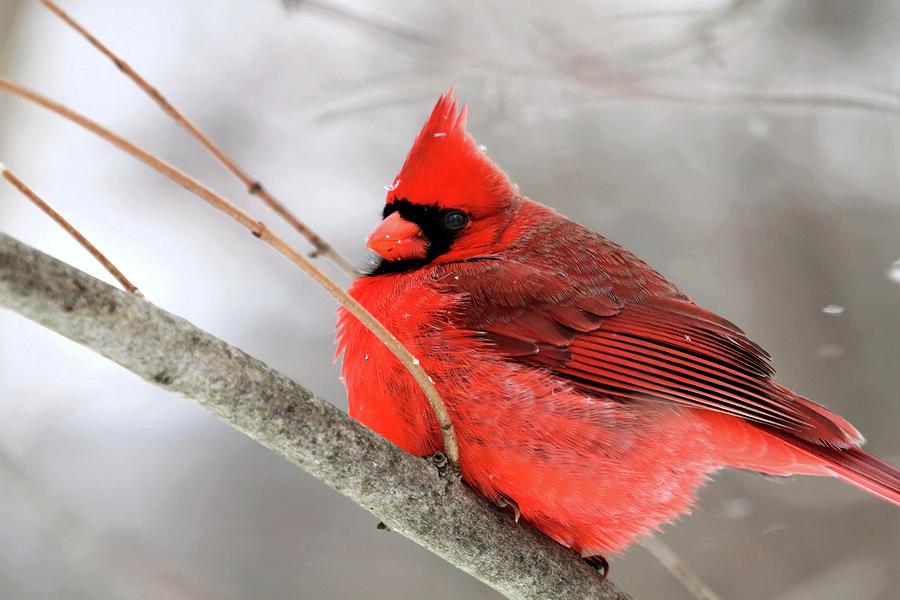 Winter Cardinal Photograph