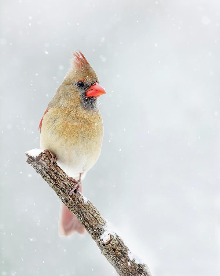 Winter Cardinal I by Gigi Ebert