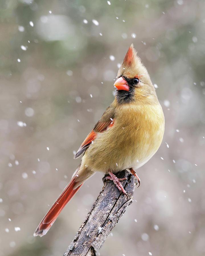 Winter Cardinal II by Gigi Ebert