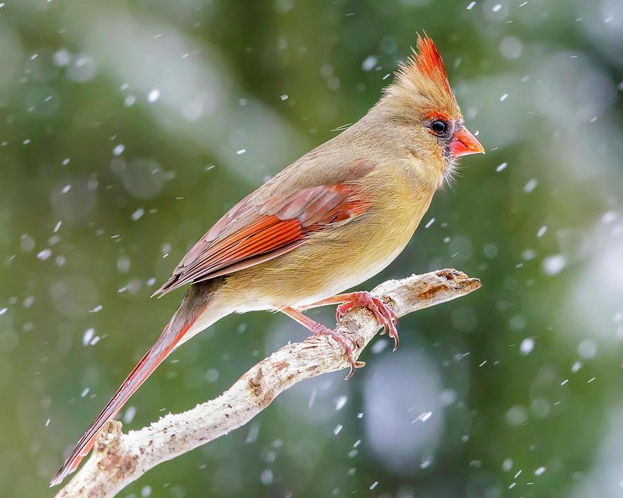 Winter Cardinal III by Gigi Ebert