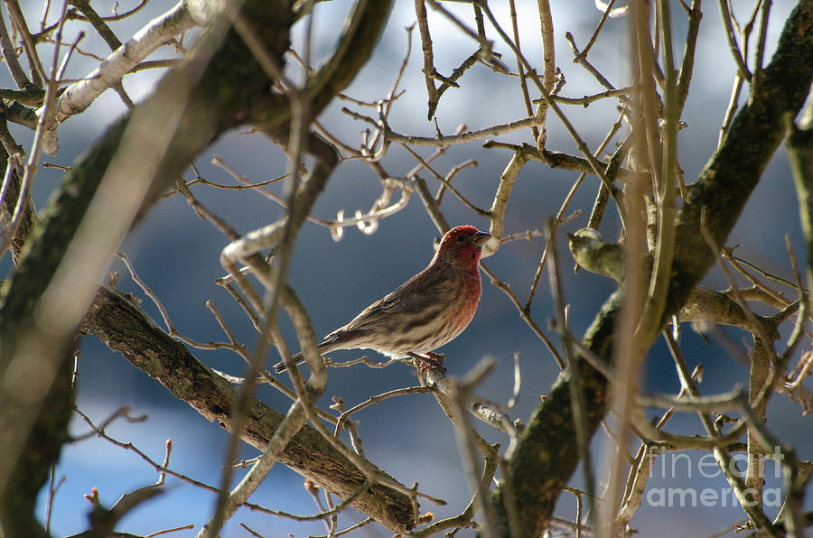 Winter Colors - Finch by The Ford Family