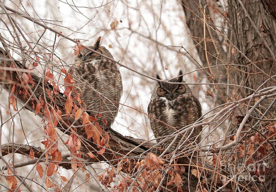 Winter Great Horned Owls by Carol Groenen