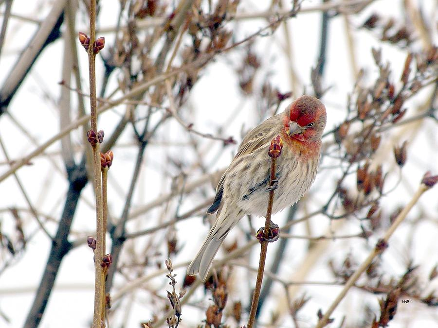 Winter House Finch by Will Borden