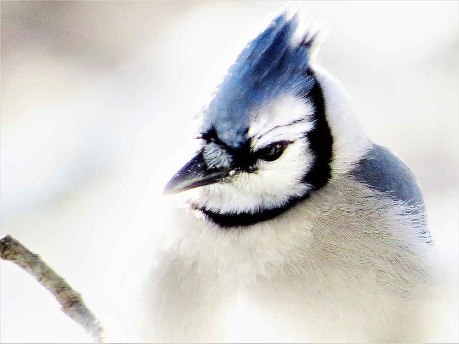 Winter Jay  by Lori Frisch