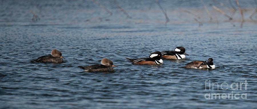 Winter Marsh - Wando River - Hooded Merganser Photograph