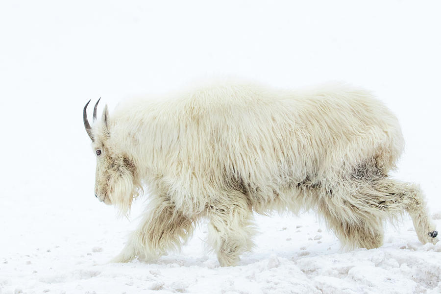 Winter Mountain Goat by Wesley Aston