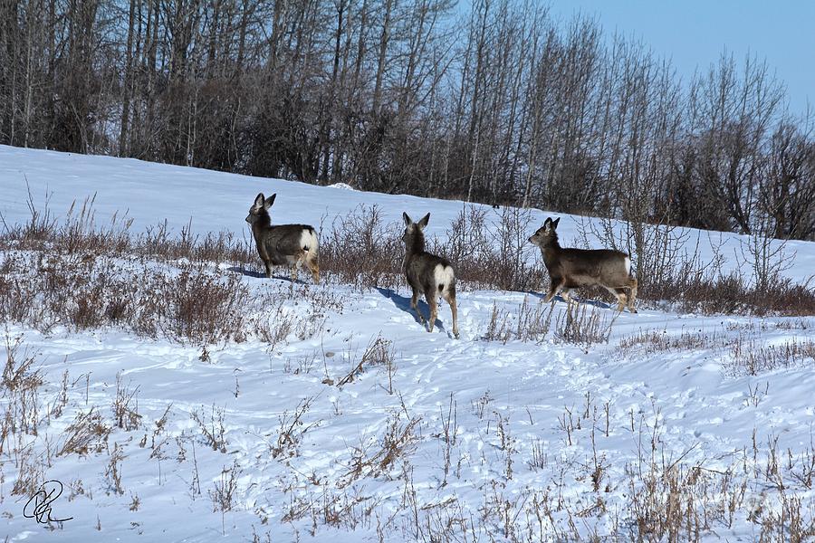 Winter Mule Deer by Ann E Robson
