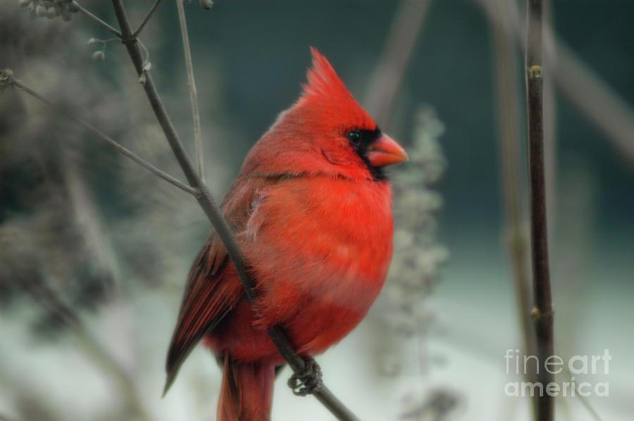 Winter Snow - Red Cardinal Photograph