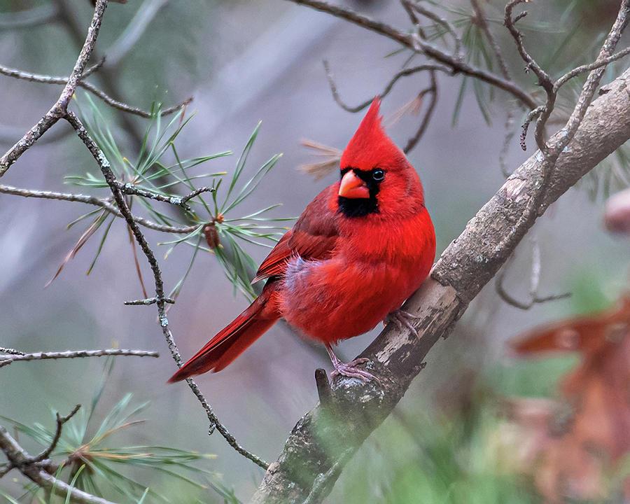 Winter Solstice Cardinal by Lara Ellis