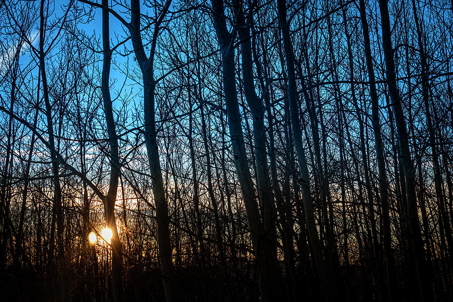Winter Sunset Through the Poplar. by Philip Rispin