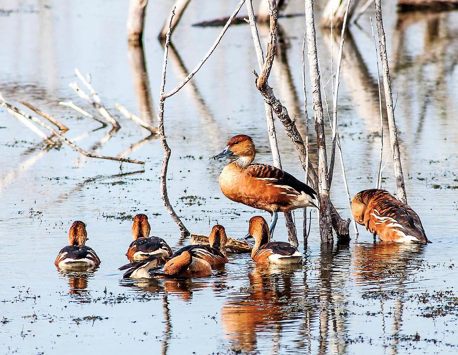 Bird Photograph - Wintering Fulvous Ducks by Norman Johnson