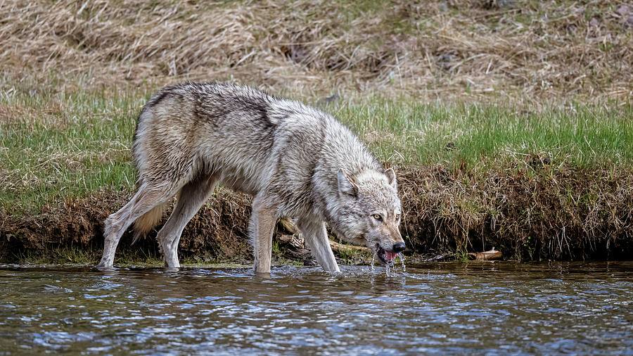 Wolf Drinking At The River IIi Photograph