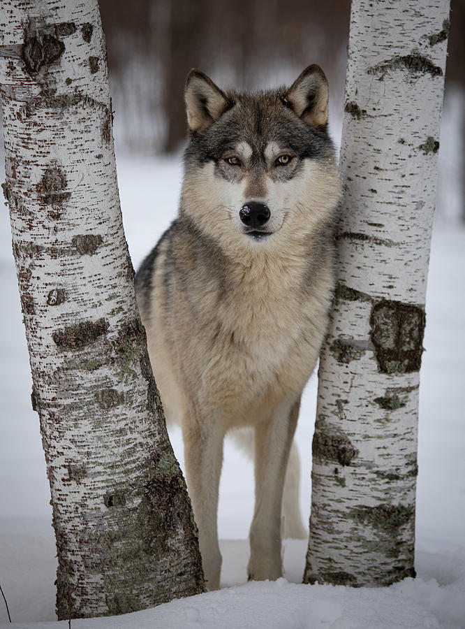 Wolf in the Birches by Kristie Burns