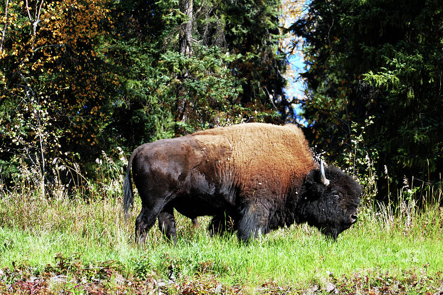 Wood Bison Bull by Phil Banks