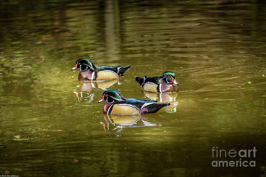 Wood Ducks Photograph