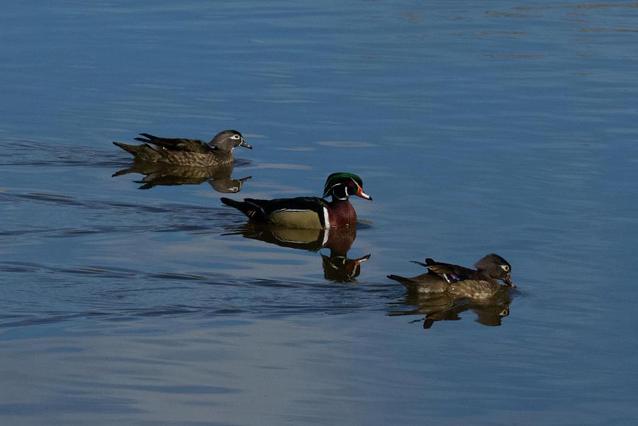Wood Ducks On The Rio Grande Photograph
