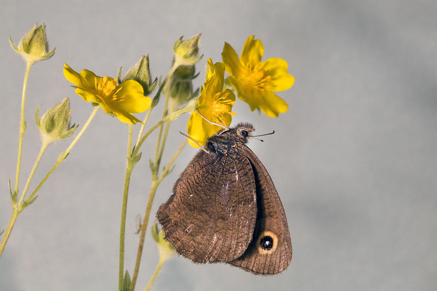 Wood Nymph Butterfly Photograph by Buddy Mays