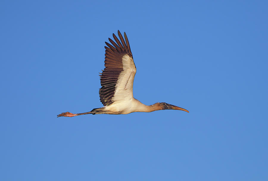 Wood Stork by Juergen Roth