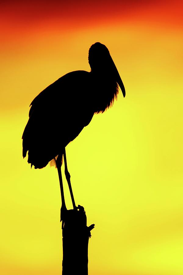 Wood Stork Silhouette Photograph