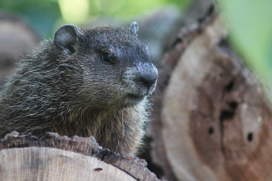Woodchuck Photograph - Woodchuck On A Woodpile by Callen Harty