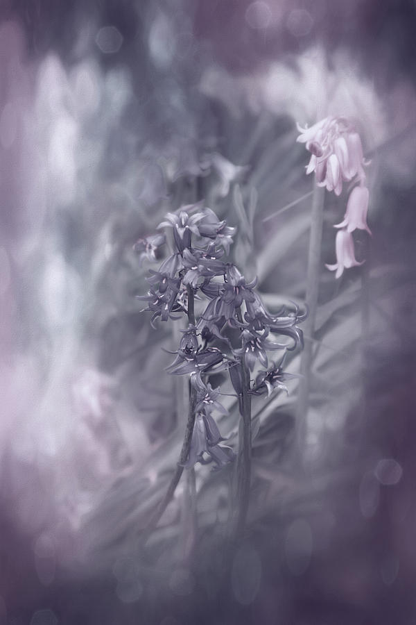 Woodland Bluebells Shades Of Lilac Photograph