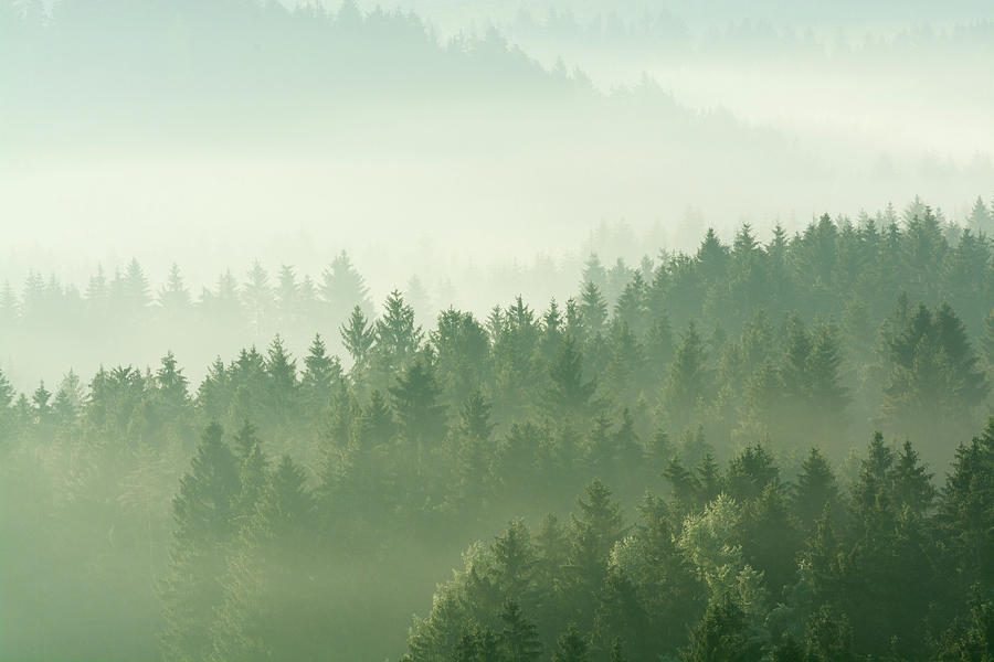 Woodland Shapes In Fog Photograph