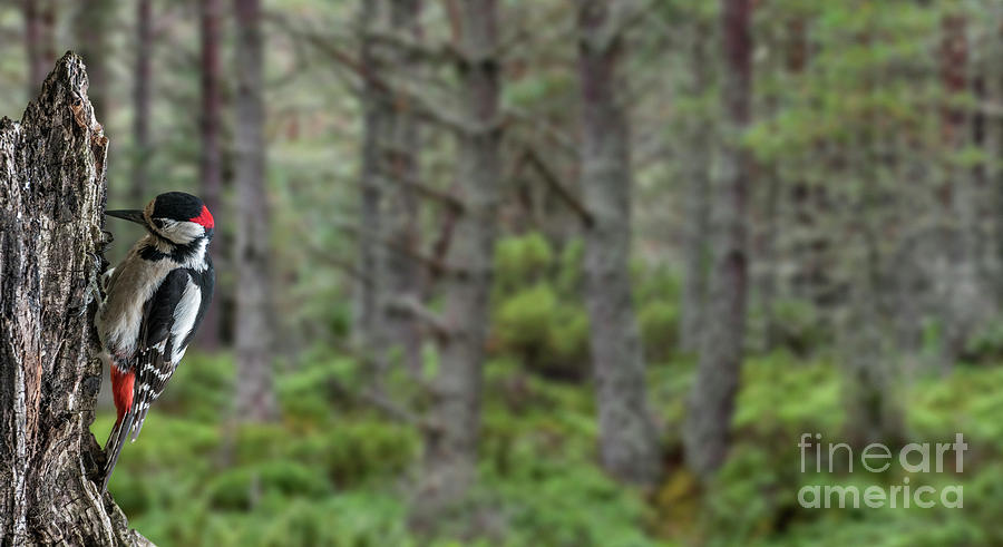 woodpecker-in-pine-forest-arterra-picture-library.jpg