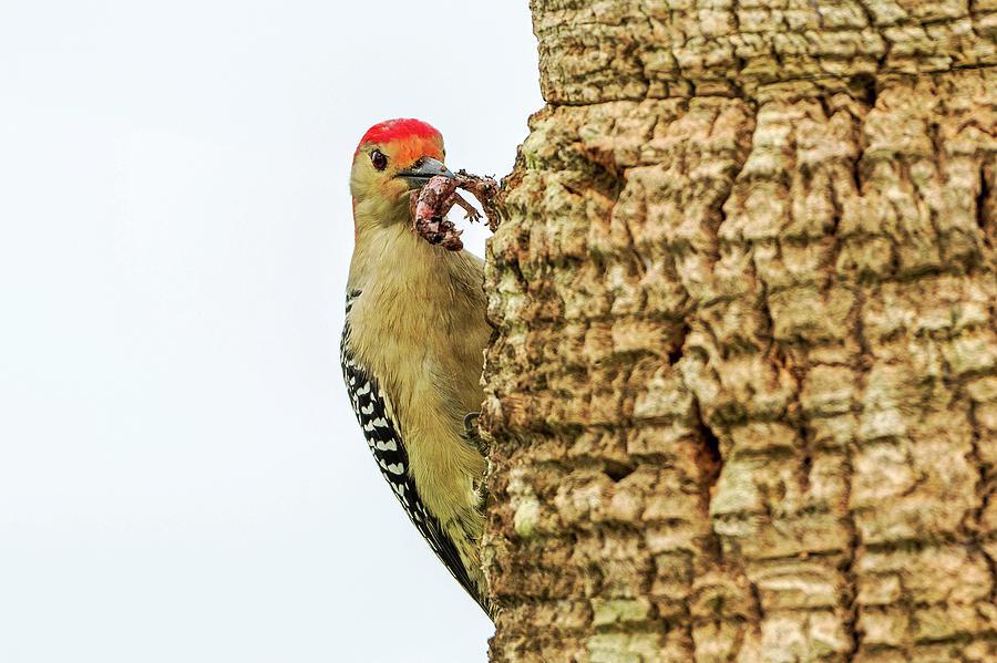 Woodpecker Snack_01 Photograph