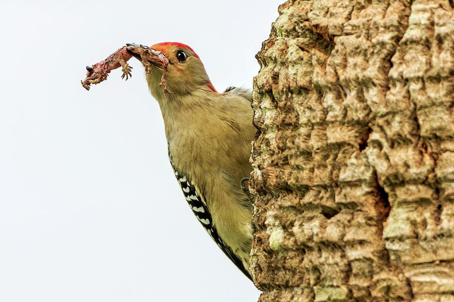 Woodpecker Snack_02 Photograph