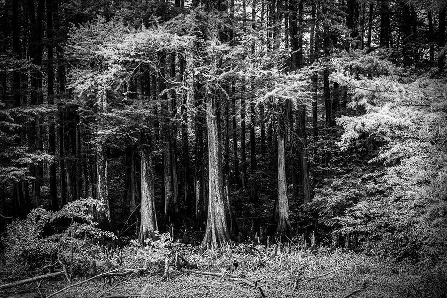 Woods Of Wapanaca Photograph