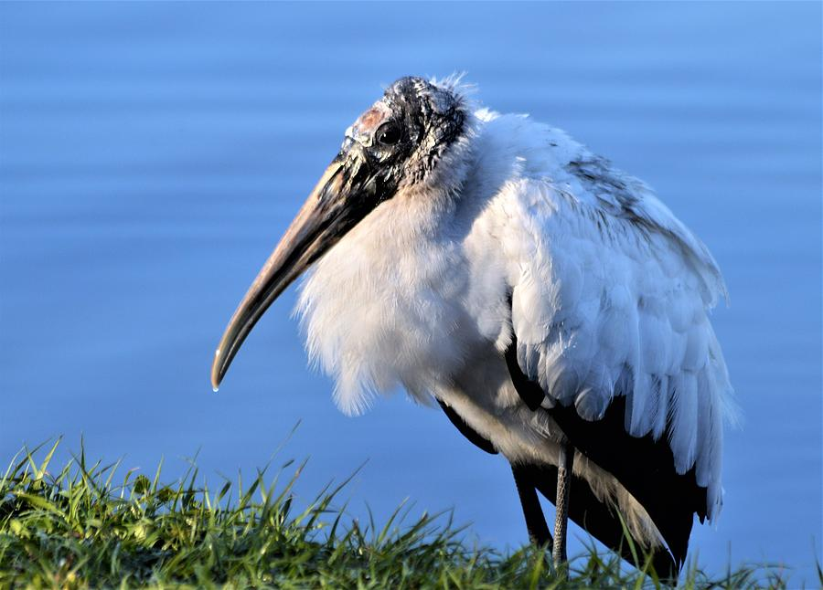 Woodstork Glow by Warren Thompson
