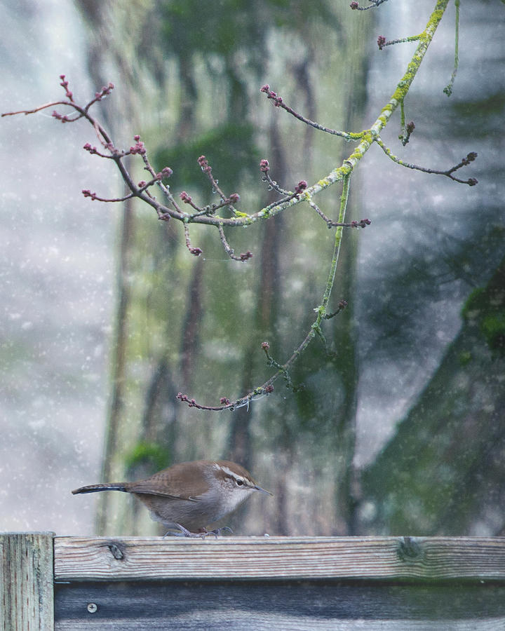 Wren In The Snow Photograph